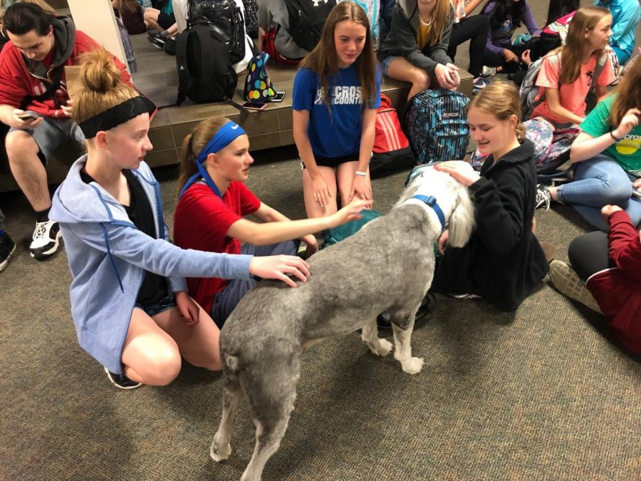 "Being a second mascot for Millard North Middle School, Stuart the Therapy Dog meets with students and staff. Formerly being a home dog, Stuart received certification to work alongside his owner, Eric Depue. ""Just having his presence there he really has a calming presence,"" Depue said."