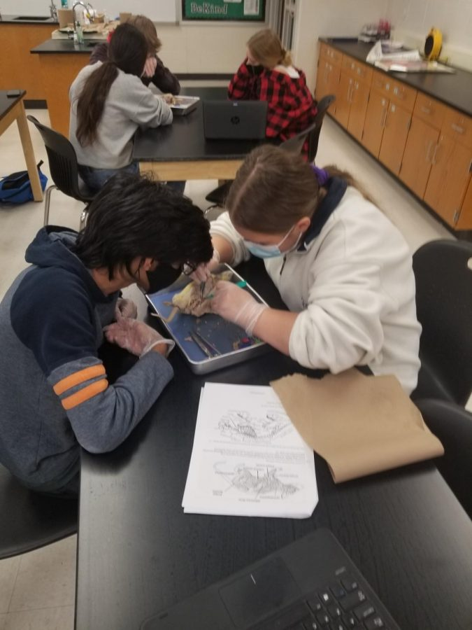 Students cut into the rat and followed the directions on their lab sheet.